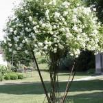 Dezelfde roos die prominent midden op het grasveld van de cour staat. De grond van het perceel is zeer geschikt voor rozen.