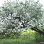 De bloesem van de overhangende meidoorn achter de eeuwenoude eik met de boomschommel.