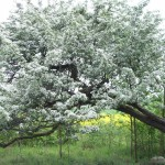 The old hawthorn in springtime, just behind the oak tree.