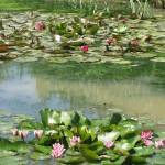 Throughout the summer until mid-autumn the water lilies continue unfolding.