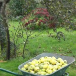 There are many possibilities to grow fruit, such as quinces (early autumn) at Les Raffoux.