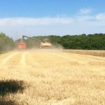 Harvesting time in July, next to the property.