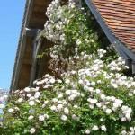 Au printemps il y a une abondance de fleurs. Voici l`énorme rose lierre sur la terrasse.